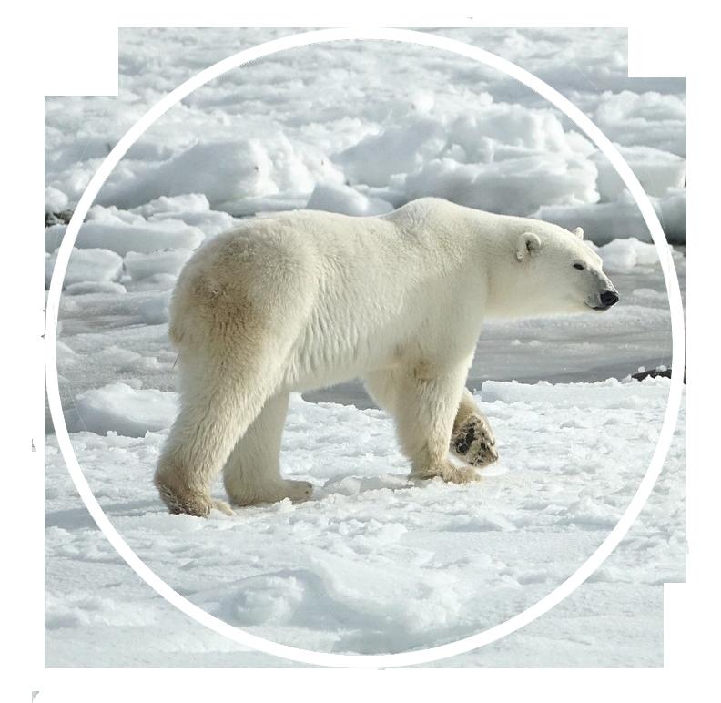 Eisbären schützen
